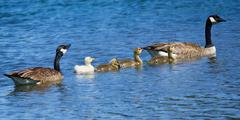 Goose family - stock photo