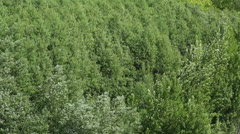 strong wind shakes the trees. - stock footage