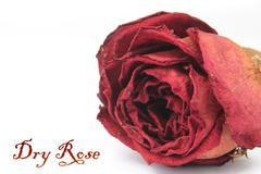 beautiful dry red rose - stock illustration