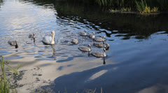 Mother swan with 9 baby cygnets - stock footage