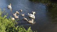 Stock Video Footage of Swan mother and baby cygnets