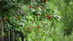 Stock Video Footage of Cherries In Rain