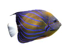 angelfish isolated on white - stock photo