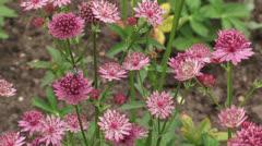 Great masterwort -Astrantia maxima in bloom + insect pollinator Stock Footage