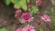 Stock Video Footage of Great masterwort, Astrantia maxima in bloom + hoverfly pollinator 02