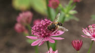 Stock Video Footage of Great masterwort, Astrantia maxima + hoverfly pollinator + flying off
