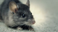 Mouse been poisoned still breathing Stock Footage