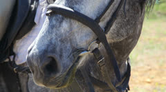 Gray horse outdoors close up Stock Footage