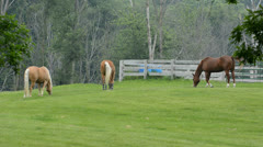 Horses grazing in a green pasture Stock Footage