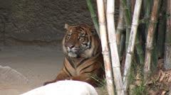 Sumatran Tiger Stock Footage