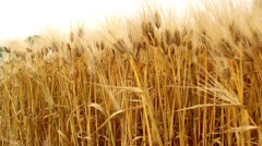 barley field close up - stock footage