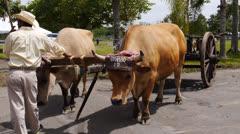Country fair bull 2 Stock Footage