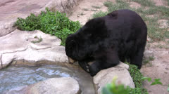 American Black Bear Stock Footage