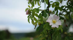 Stock Video Footage of Beautiful White Romantic Wildrose