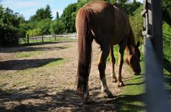 Beautiful Brown Horse Eating Grass Stock Photos