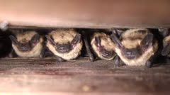 Bats Roosting In Batbox Stock Footage