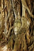 a buddha head inside a tree in ayudhaya,thailand. - stock photo