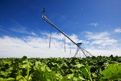 irrigating turnips - stock photo