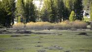 Yosemite LM73 Mule Deers Tuolumne Meadow Stock Footage