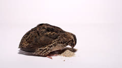 Quail pecking for food on a white background Stock Footage