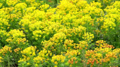 Cypress Spurge (Euphorbia cyparissias) Stock Footage