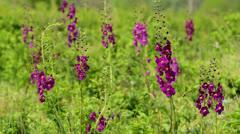 Purple Mullein (Verbascum phoeniceum Stock Footage