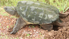 Egg laying snapping turtle Stock Footage