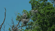 Stock Video Footage of Blue Heron rookery