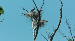 Blue Heron rookery Stock Footage