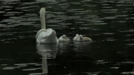 Stock Video Footage of Mute swans cygnets