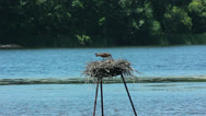 Stock Video Footage of Osprey feeding young chicks - close up