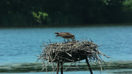 Stock Video Footage of Osprey feeding young chicks - extreme closeup
