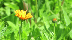 Orange flower of calendula - stock footage