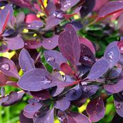 Raindrops on barberry leaves Stock Photos