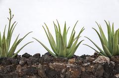 planting of aloe vera - stock photo