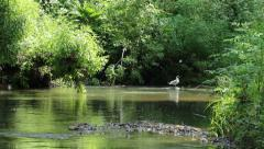 River gull preys on small river fish Stock Footage