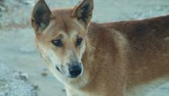 Wild Dingo in Australia - stock footage