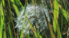 Spring dandelion on natural background - stock footage