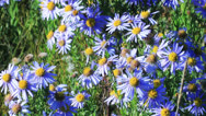 Stock Video Footage of Blue chamomile flowers