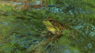 Stock Video Footage of Northern Green Frog (Rana clamitans melanota)  - Male 1