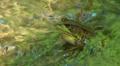 Northern Green Frog (Rana clamitans melanota)  - Male 2 Footage