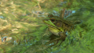 Stock Video Footage of Northern Green Frog (Rana clamitans melanota)  - Male 2