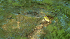 Stock Video Footage of Northern Green Frog (Rana clamitans melanota)  - Male 4