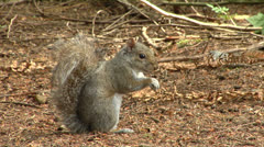 Squirrel looking at camera - stock footage