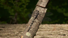 Gray Petaltail (Tachopteryx thoreyi) Dragonfly - Male 1 Stock Footage