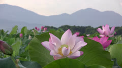 Pink Lotus blossom and mountains Stock Footage