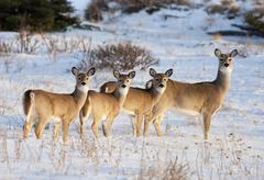 White tail deer family Stock Photos