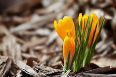 First spring crocus Stock Photos