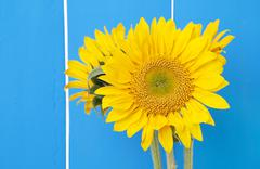 sunflowers on blue - stock photo
