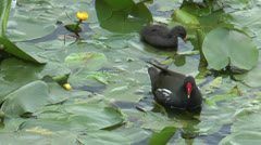 Moorhen with baby closeup Stock Footage
